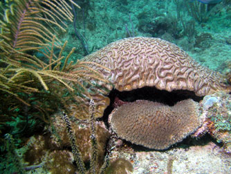 Boulder brain coral (Colpophyllia natans) is one of over 40 stony coral species that have been identified on southeast Florida reefs.
