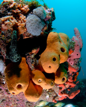 Caption: A few of the more than 70 species of colorful sponges that adorn southeast Florida coral reefs. <br/>Photo: Joe Marino