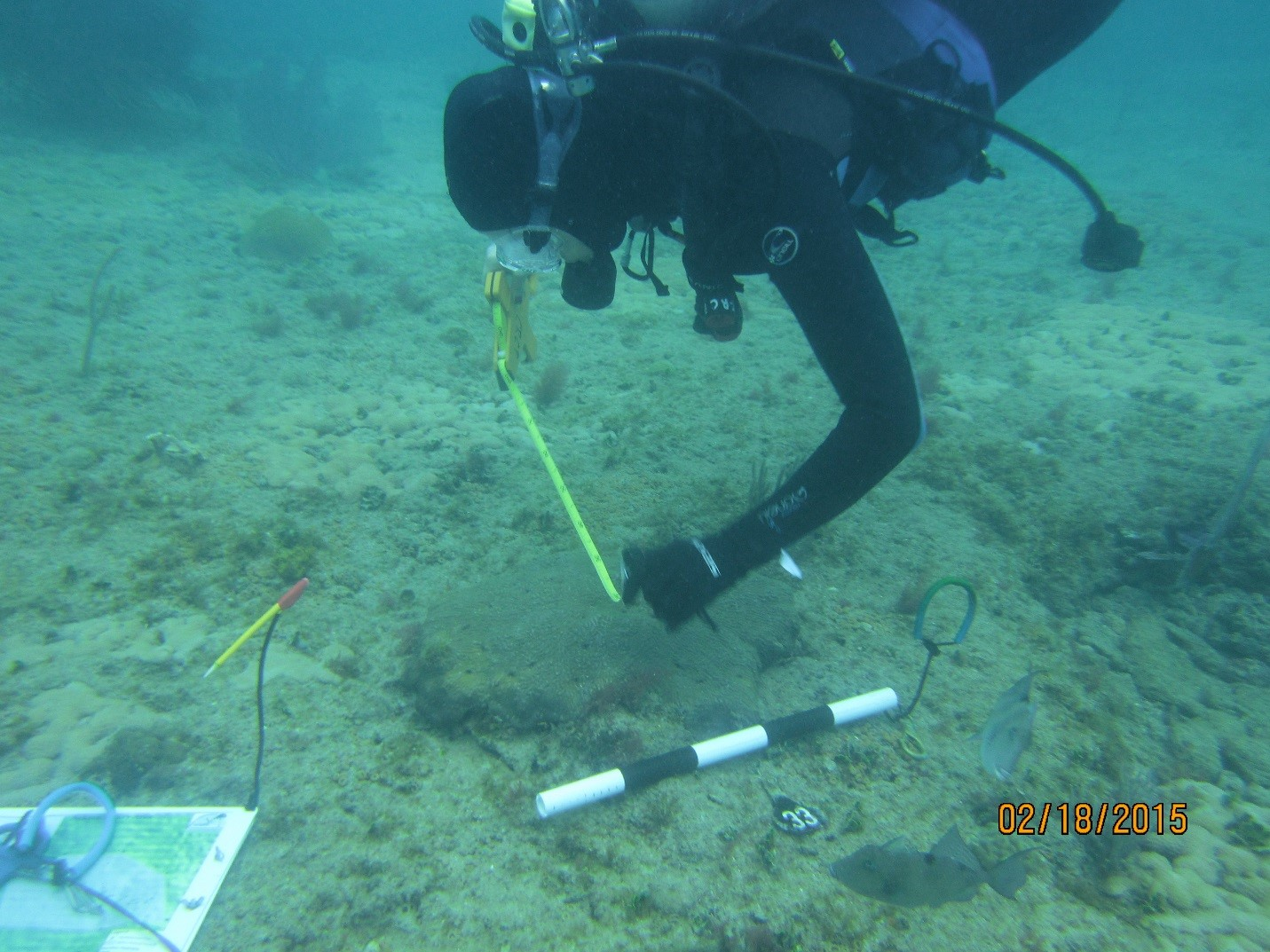 Coral Reef Conservation Program staff member Meghan Balling measures a coral at the monitoring site.