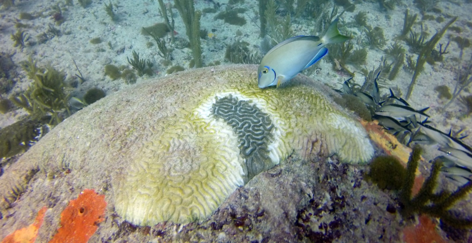 A symmetrical brain coral (Pseudodiploria Strigosa) observed with white-plague like disease in Broward County.