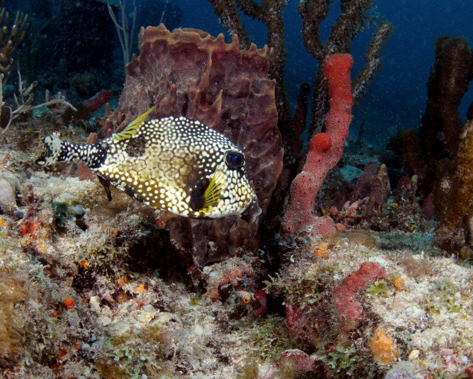 A spotted trunkfish scuttles along the reef off of Broward County.  Photo: Joe Marino