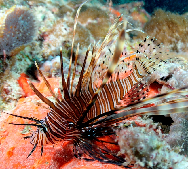 Invasive lionfish sightings are becoming more frequent along southeast Florida's coral reefs.                     Photo: Joe Marino