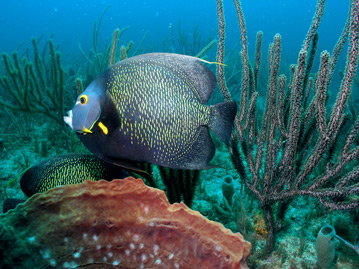 Participants in the REEF Fish ID class will learn to identify ornamental reef fish such as this French angelfish. <br/>Photo: Dave Gilliam, Ph.D.