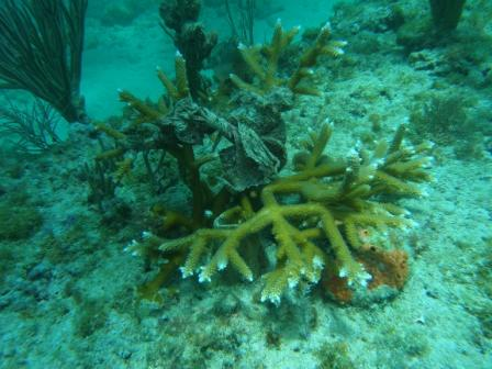 A plastic bag wrapped around a threatened staghorn (Acropora cervicornis) coral. Photo: Jamie Monty, CRCP