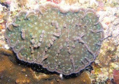 Mycetophyllia aliciae