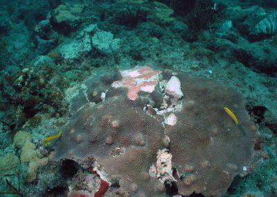 Scraped Coral