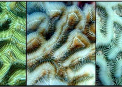 Progression of coral tissue bleaching from healthy on the left to completely bleached on the right.